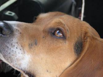 Beagle by kitsunerox22
