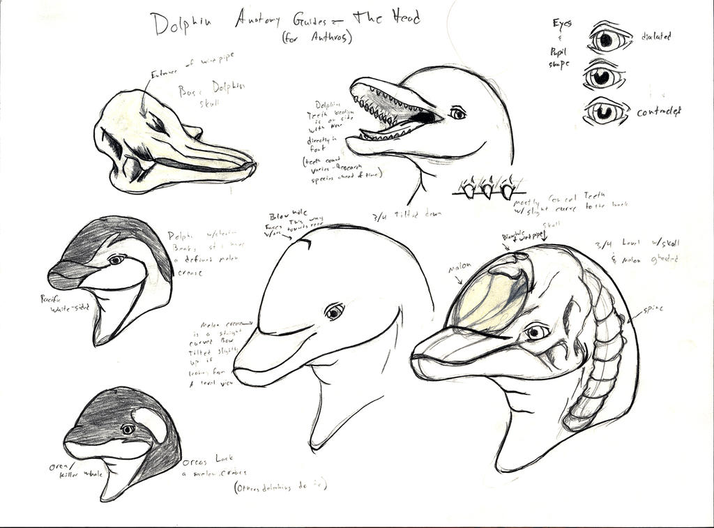 Anthro Dolphin Anatomy Guide: The Head by Adleisio on DeviantArt