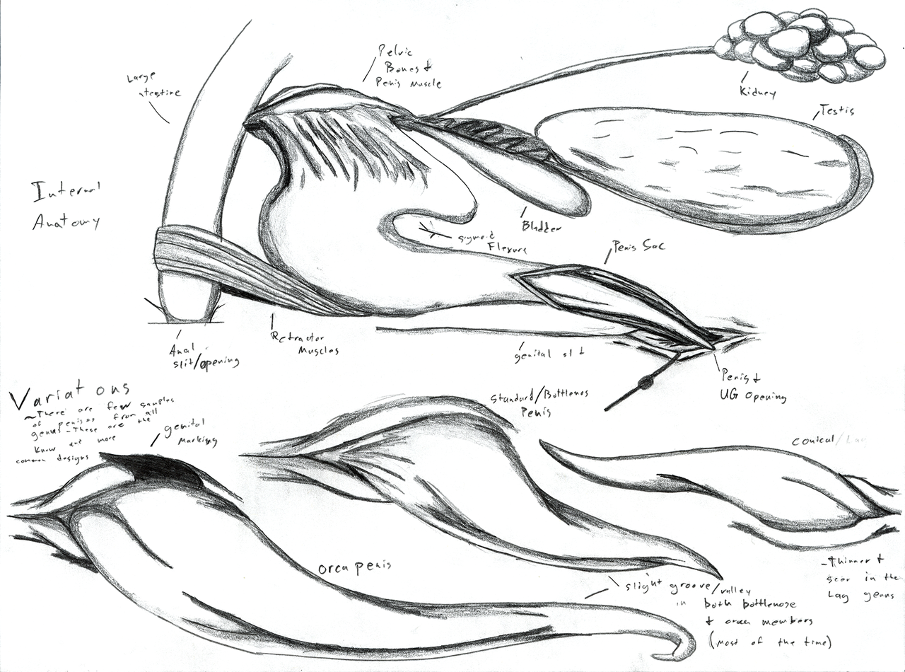 Dolphin Anatomy: Male Reproductive System by Adleisio on DeviantArt