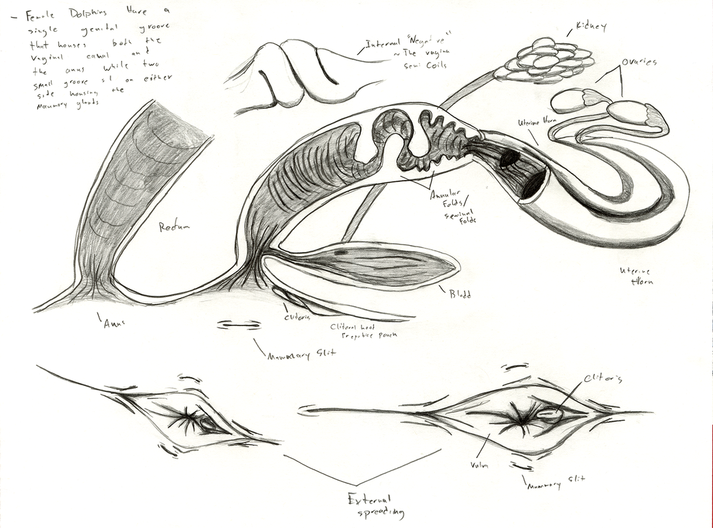 Dolphin Anatomy: Female Reproductive System by Adleisio on DeviantArt