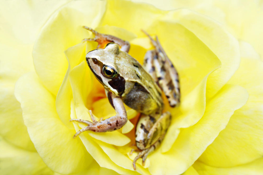 THE FROG II by jactaylor