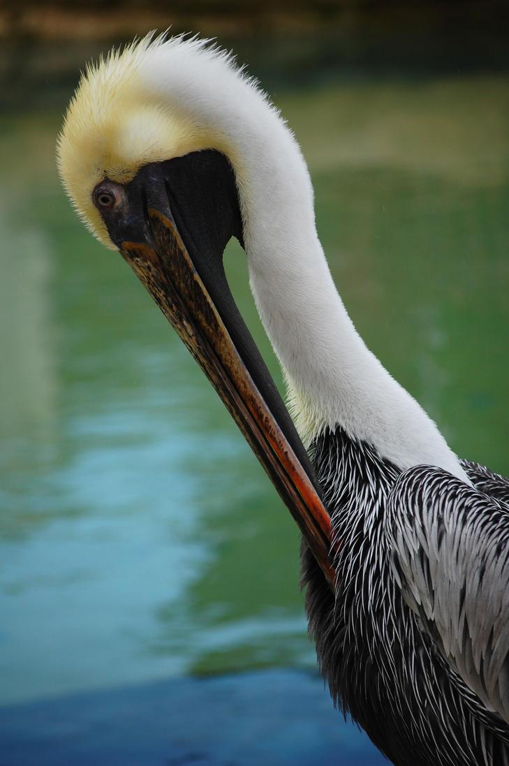Brown Pelican by Lumen-Venator