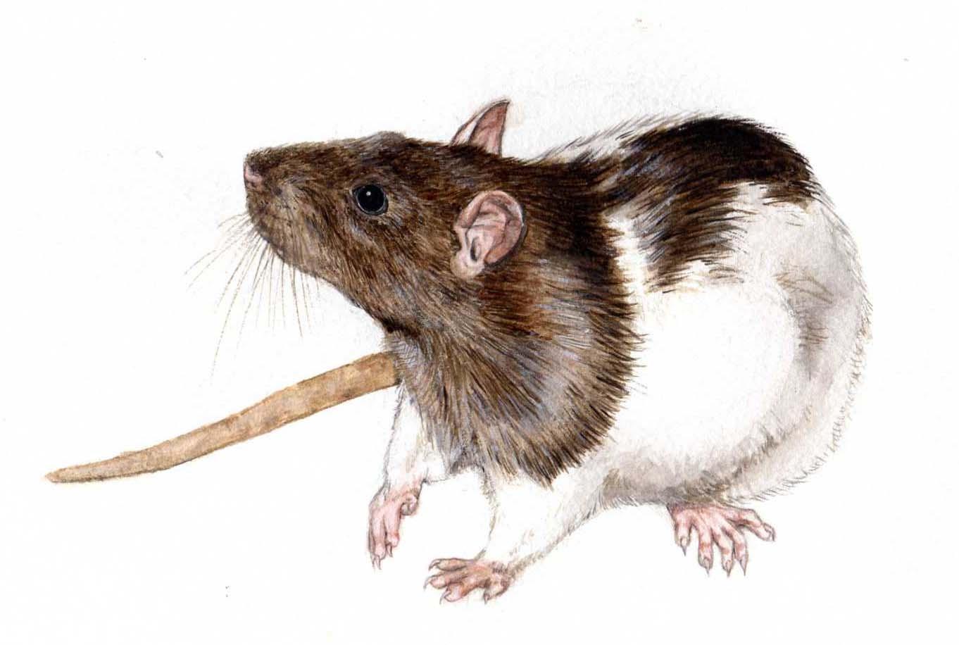 realistic rat drawing. Black Bedroom Furniture Sets. Home Design Ideas