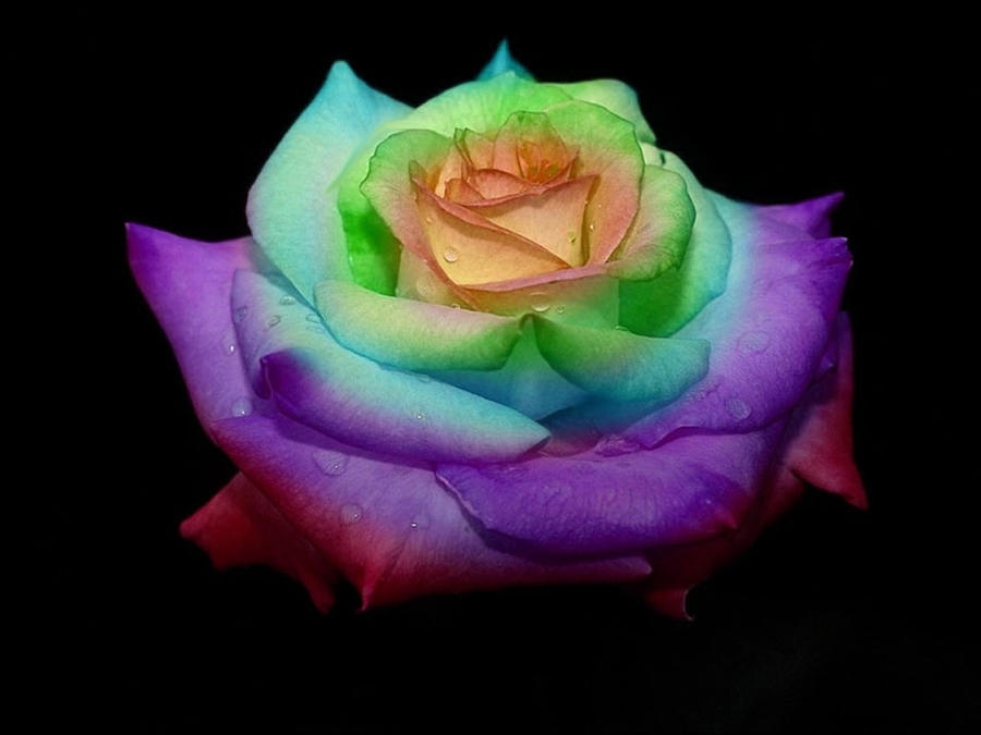 Rainbow rose by godgun on deviantart for What are rainbow roses