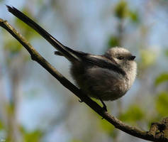 Long-tailed Tit by miirex