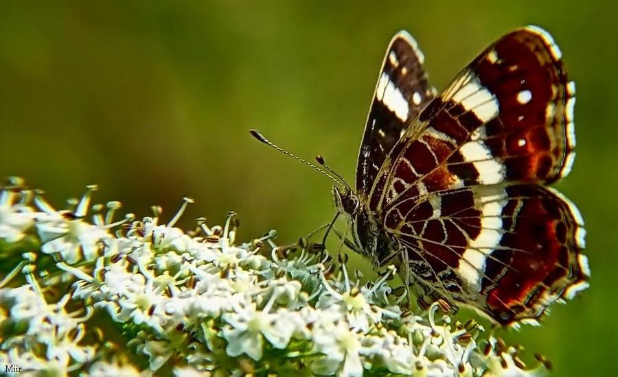 Butterfly 4 by miirex