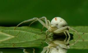 Spider by miirex
