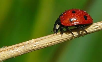 Ladybird by miirex