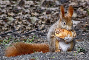 Squirrel by miirex