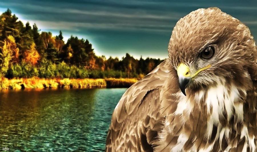 Prairie falcon by miirex