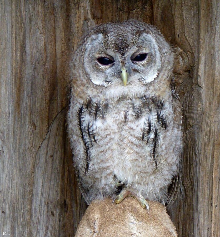 Tawny owl by miirex