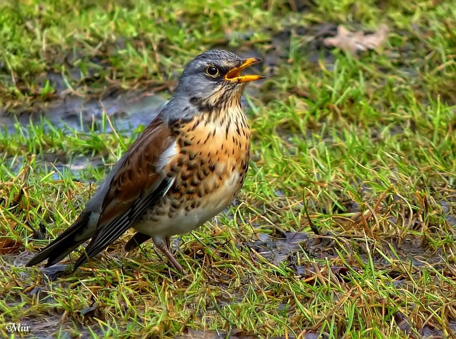 Fieldfare by miirex