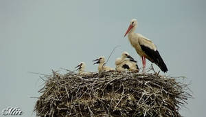 Stork nest by miirex