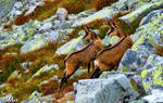 Chamois - hiking companions