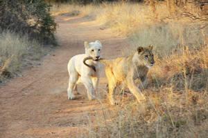 Nala, stop biting Simba O_o