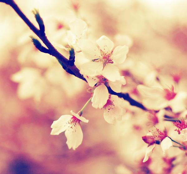 . sakura . by maskqueraide