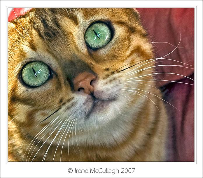 Bengal-eyes by substar
