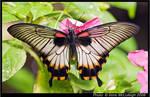 Butterfly Dark Beauty