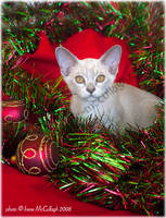 Burmese Kitten Christmas Shoot by substar