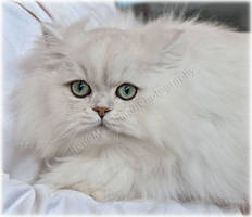 Chinchilla Show Cat by substar