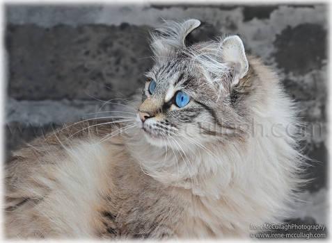 Freya - American Curl