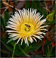 Bee in Succulent Flower