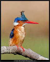 Bad hair day - Malachite Kingfisher