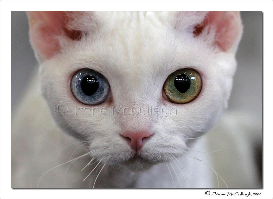 Odd-Eyed Devon Rex