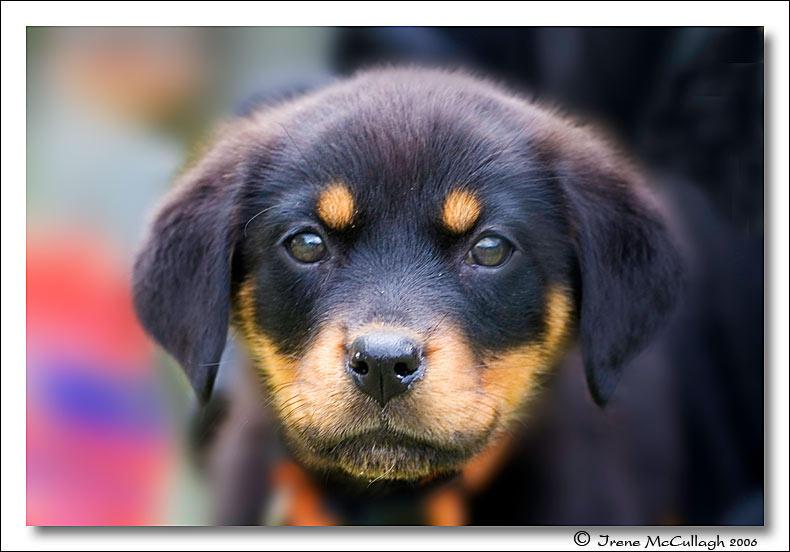 Mini Rottweiler