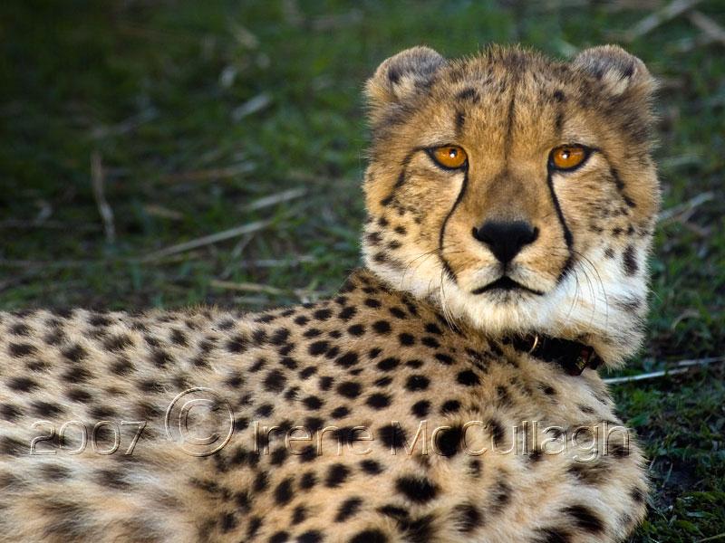 Cheetah desktop by substar