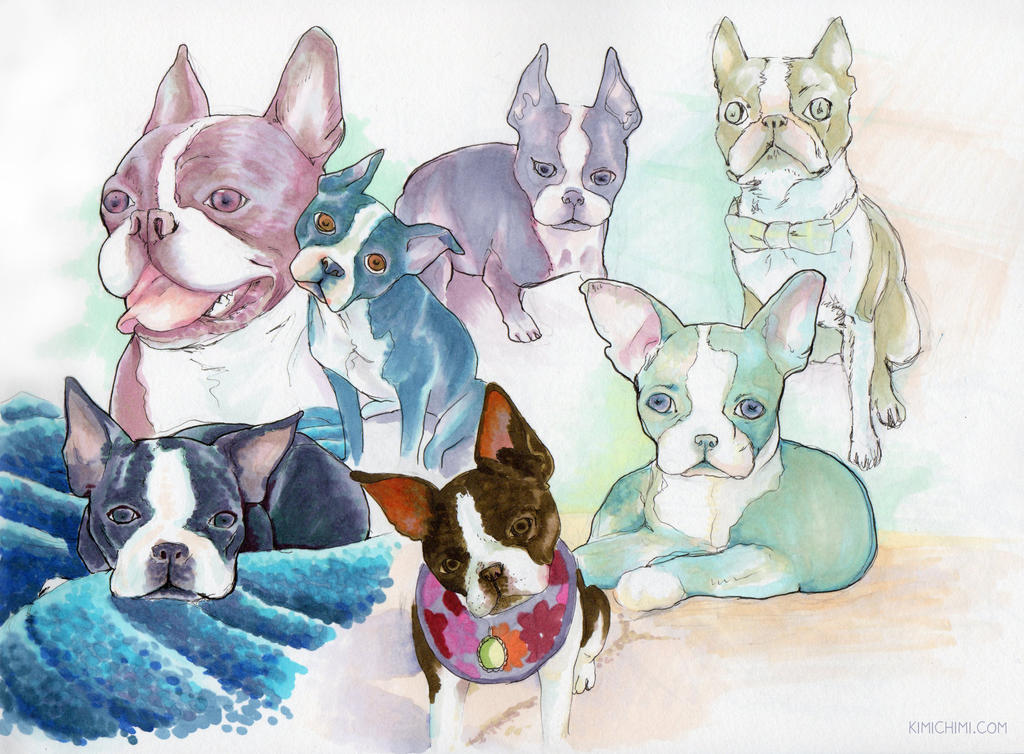 Boston Terrier Study by kimikiti