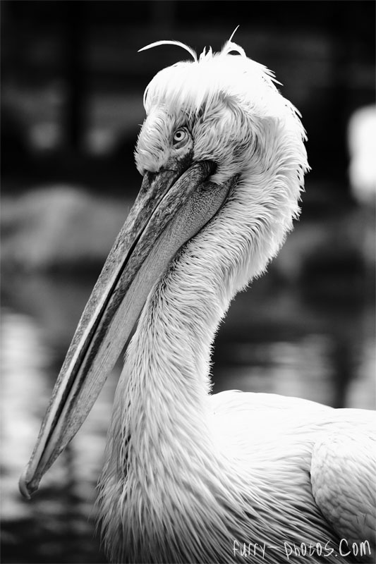 JBP - Pelican Portrait by furryphotos