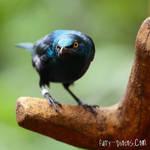 JBP - Suspicious Starling