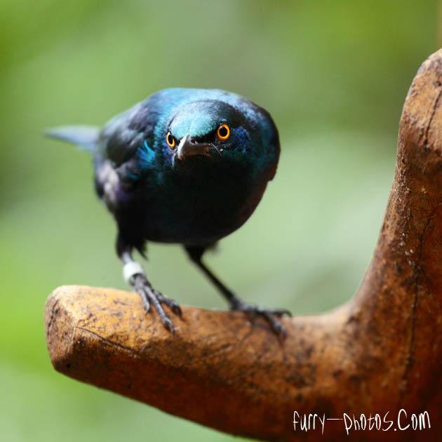 JBP - Suspicious Starling by furryphotos