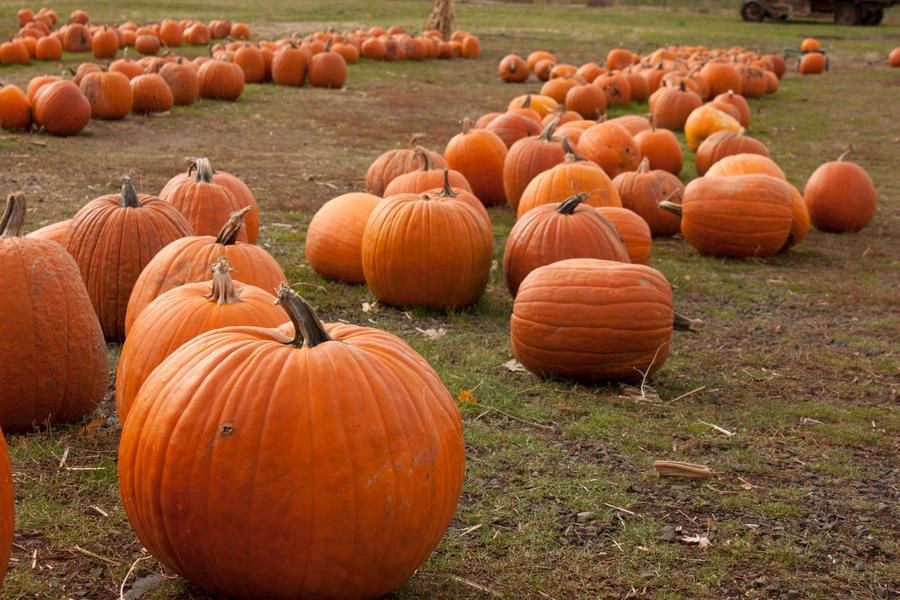 Pumpkin Patch by tragicalsmiles
