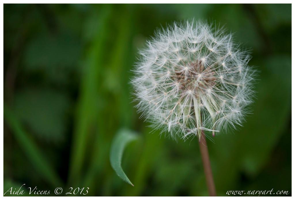 Dandelion by Giledhel-Narya