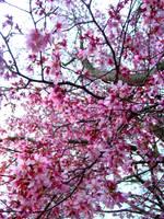 cherry blossom by SarahChristiana