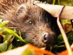 Hedgehog portre