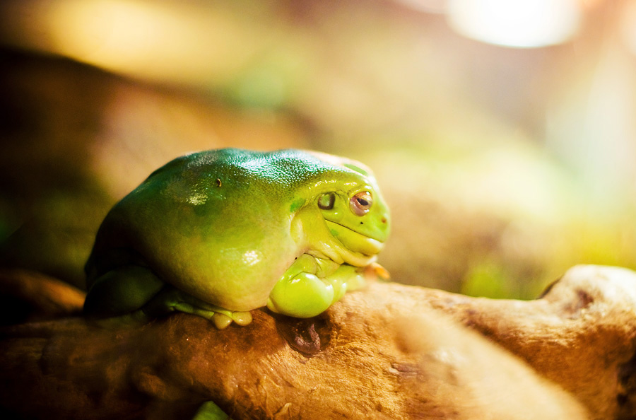 Frog by Tamerlana