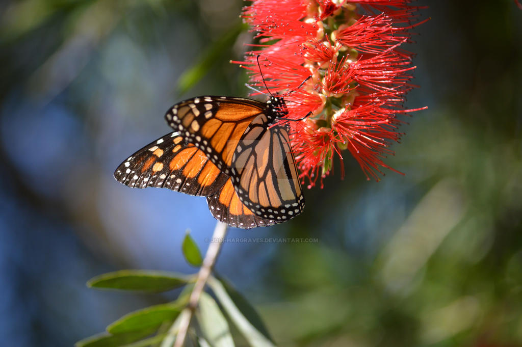 Bottlebrush Monarch by Daggles67