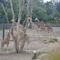 Giraffe's in the Zoo.