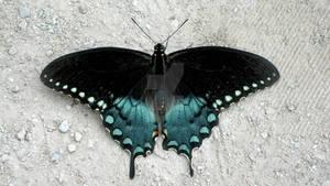 Butterflies Morphing GIF
