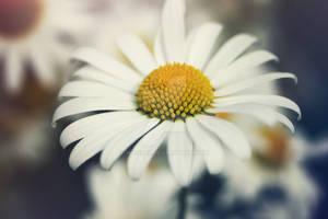 Summer Daisy by WorldII