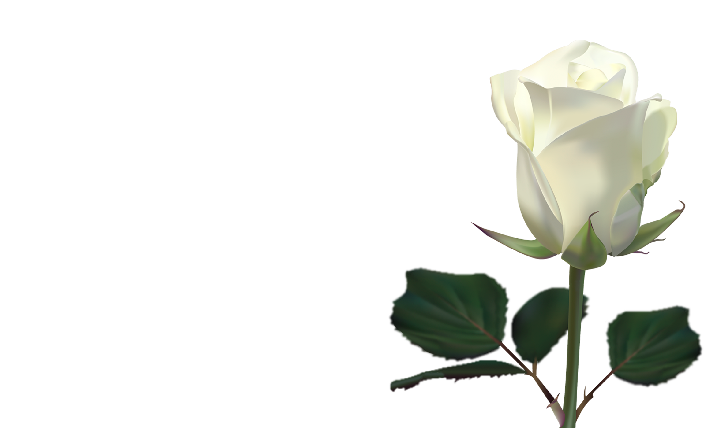 White Rose Wallpaper By LilianneRet
