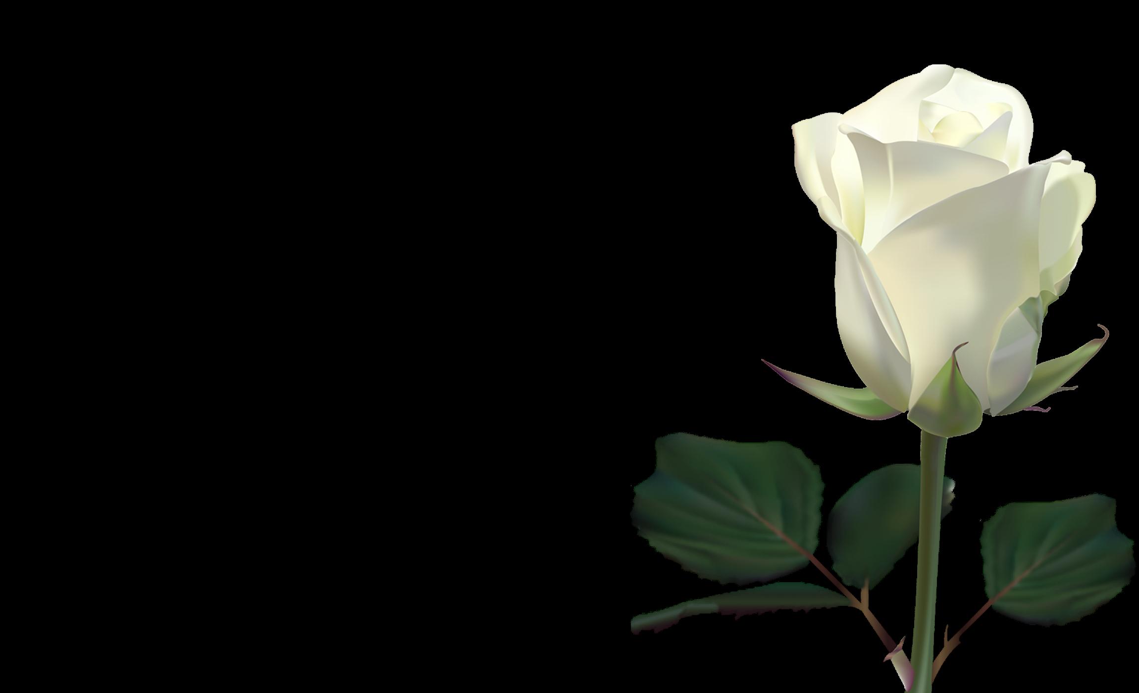 white rose wallpaper by lilianneret on deviantart