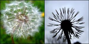 Dandelion Diptychs