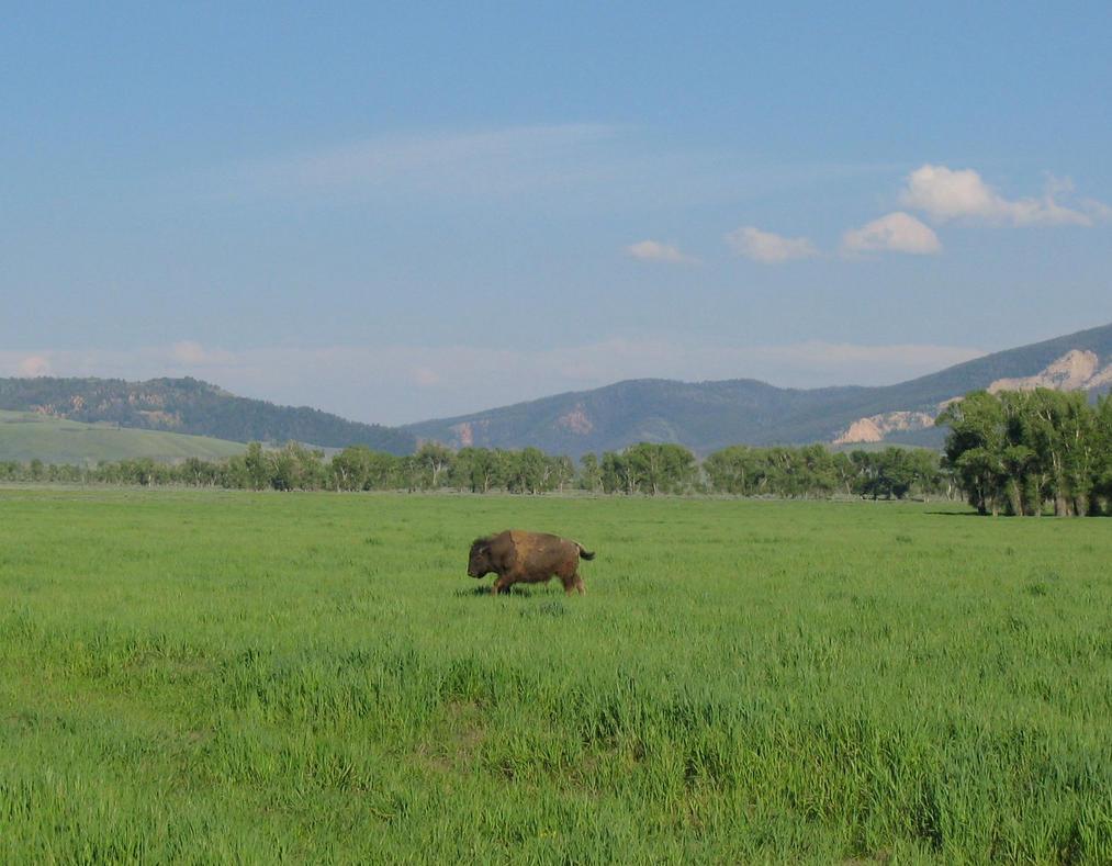 Running Buffalo  by lupinelover