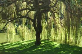 Willow by Firestar97