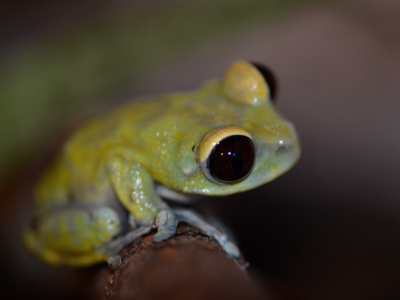 Red eyed moon frog by AsphyxiaticNeko