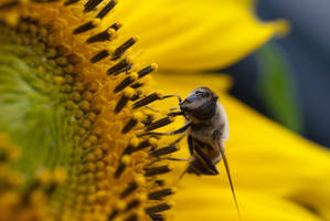 Bee on Sunflower by SubSuid